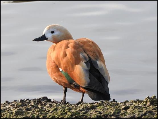 ruddy-shelduck-270117
