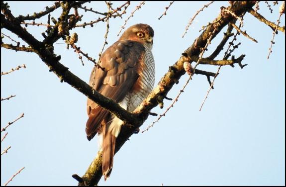 sparrowhawk-030117