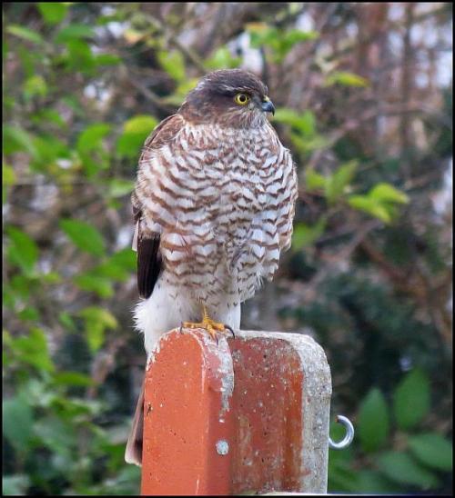 sparrowhawk-300117