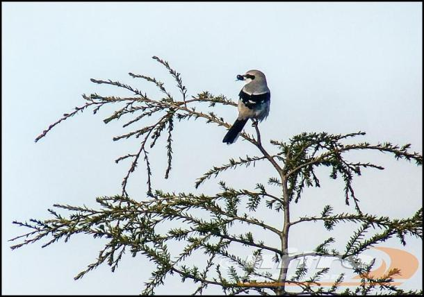 great-grey-shrike-030216