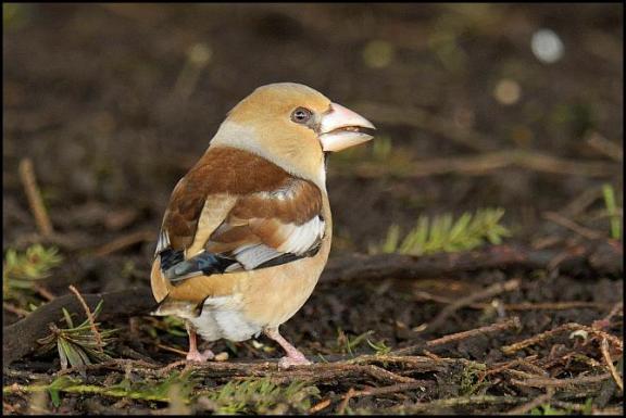 hawfinch-2-070217