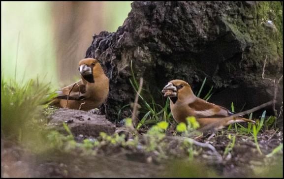 hawfinches-270217