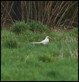 white-magpie-030217