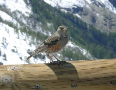 Alps - Alpine Accentor