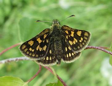 Alps - Chequered Skipper 1