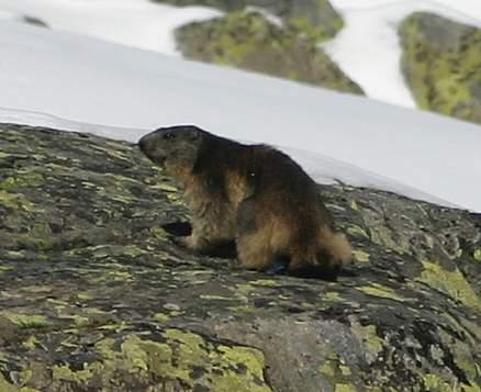 Alps - Marmot 1
