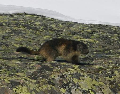 Alps - Marmot 2