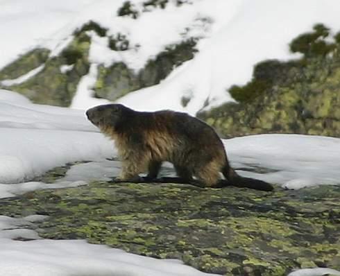 Alps - Marmot 3