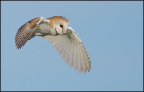 Barn Owl 250317