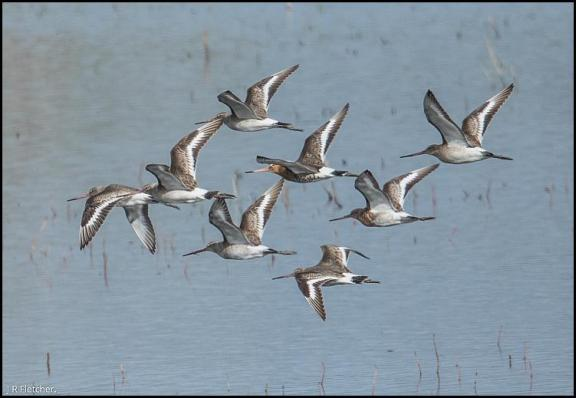 Black-tailed Godwits 210317