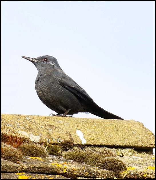 Blue Rock Thrush 060317