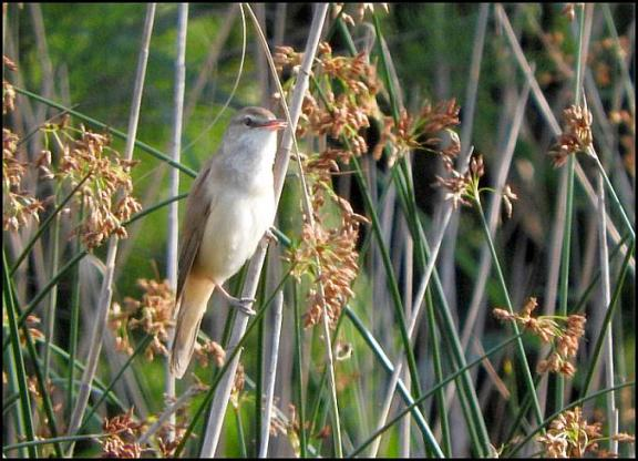 coto-great-reed-warbler