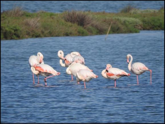 coto-greater-flamingos