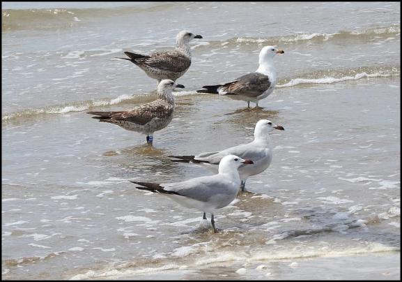 coto-gulls
