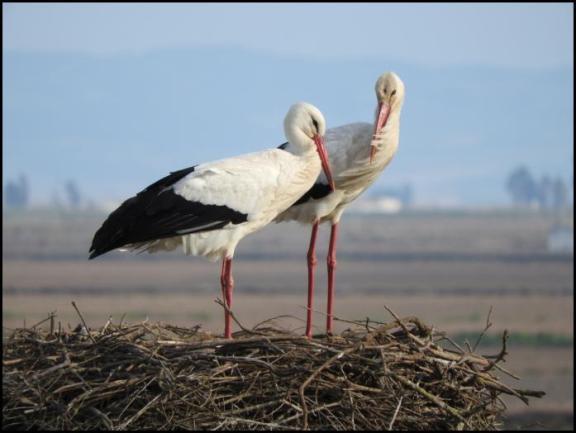 coto-white-storks
