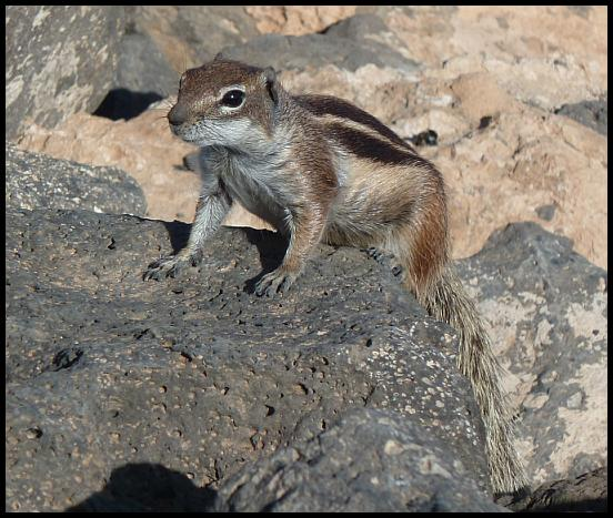 fuerte-barbary-ground-squirrel
