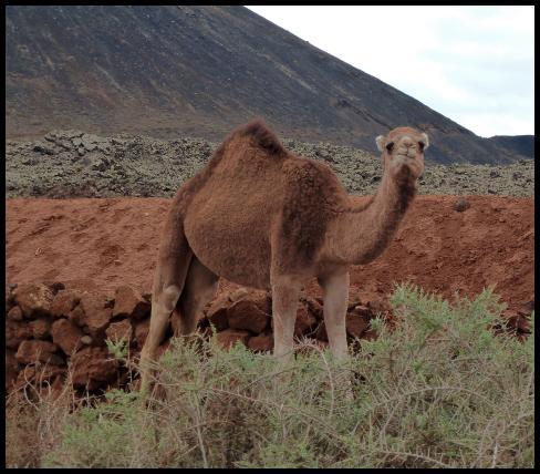 fuerte-camel