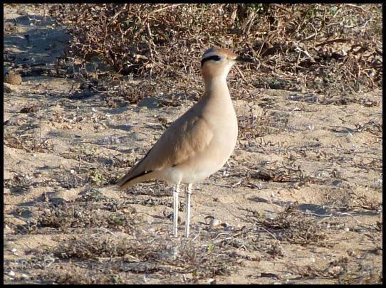 fuerte-cream-coloured-courser