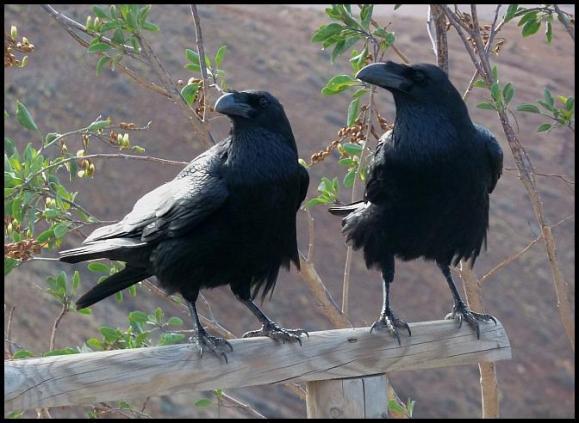 fuerte-ravens