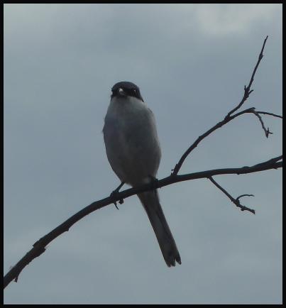 fuerte-southern-grey-shrike