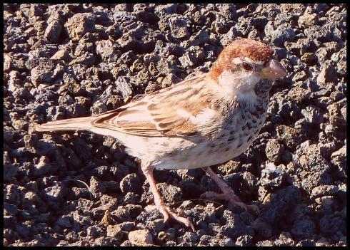 fuerte-spanish-sparrow