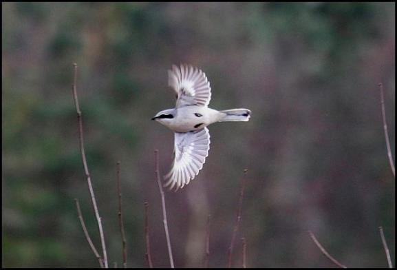 Great Grey Shrike 060317