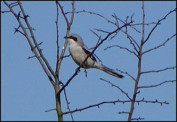 Great Grey Shrike 090317