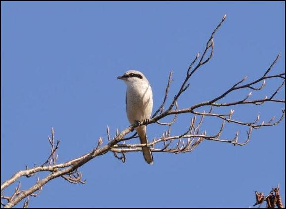 Great Grey Shrike 2 090317