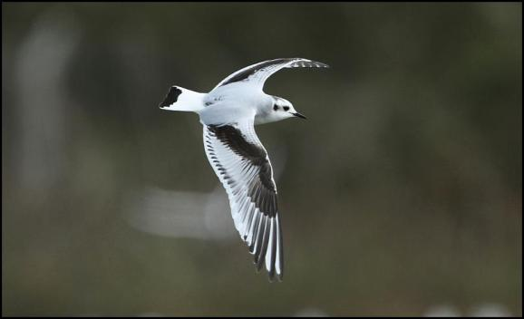 Little Gull 310317
