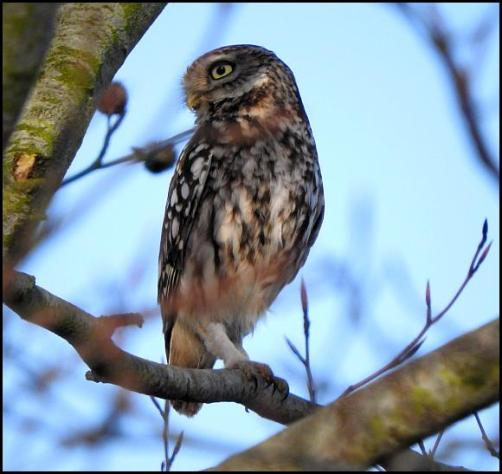 little-owl-040317