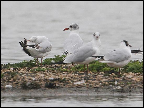 Mediterranean Gull 120317