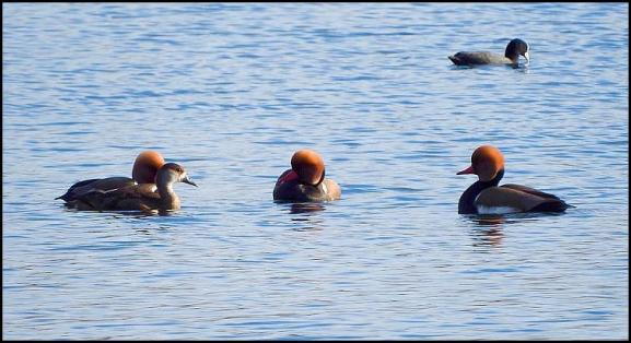 Red Crested Pochards 090317