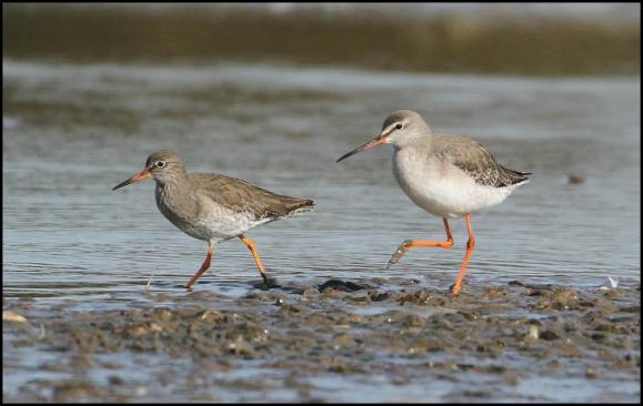 spotted-redshank-020317