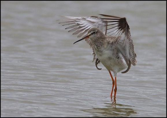 Spotted Redshank 190317