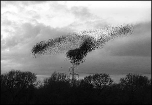 starlings-020317