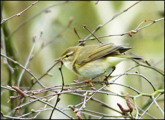 Willow Warbler 290317