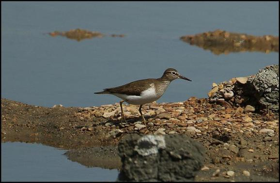 Common Sandpiper 220417