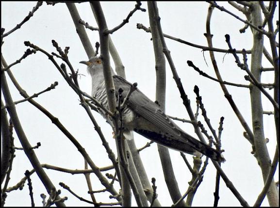 Cuckoo 210417