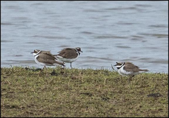 Little Ringed Plovers 040417