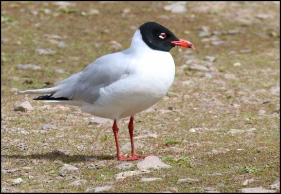 Mediterranean Gull 150417