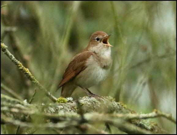Nightingale 200417