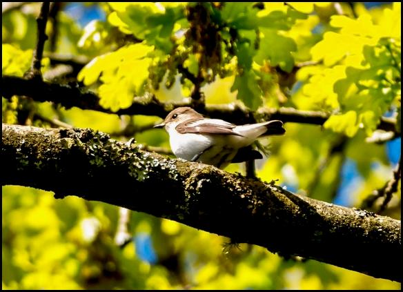 Pied Flycatcher 250417