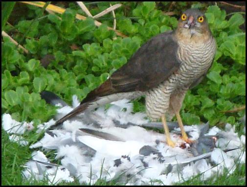 Sparrowhawk 030417