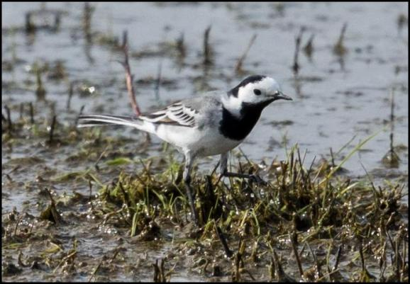 White Wagtail 030417