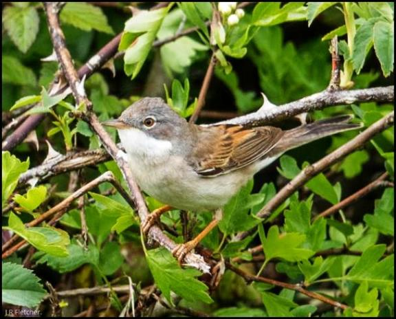 Whitethroat 240417