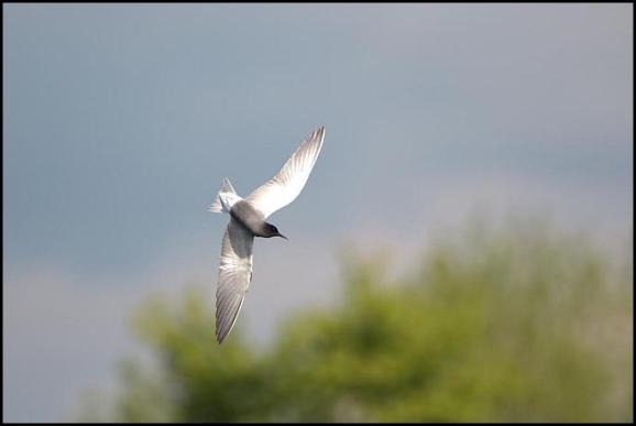 Black Tern 010517