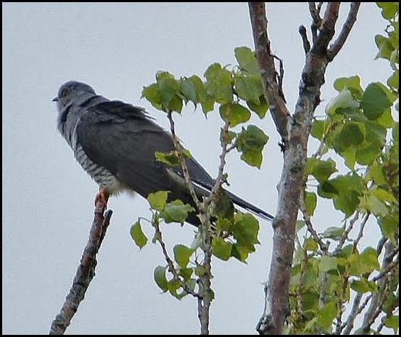 Cuckoo 010517