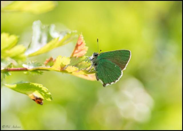 Green Hairstreak 110517