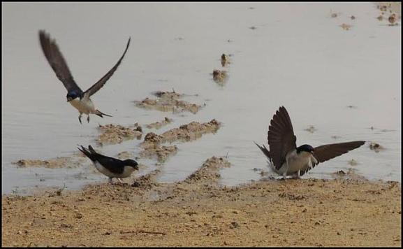 House Martins 190517