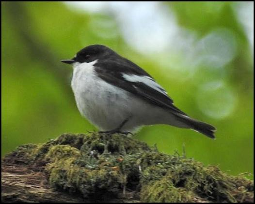 Pied Flycatcher 080517